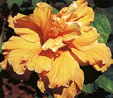 Yellow hybrid of the Hibiscus rosa-sinensis, one of Iris Bannochie's favourites. They are now grafted at Andromeda by the 84-year-old retired manager, Timothy Hoyte. Photograph by Felix Kerr