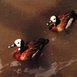 White-faced whistling ducks at the Pointe-á-Pierre Wildfowl Trust. Photograph by Roger Neckles