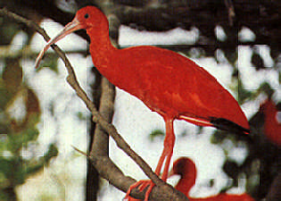 Scarlet Ibis has successfully bred a the Trust since 1991. Photograph by Roger Neckles