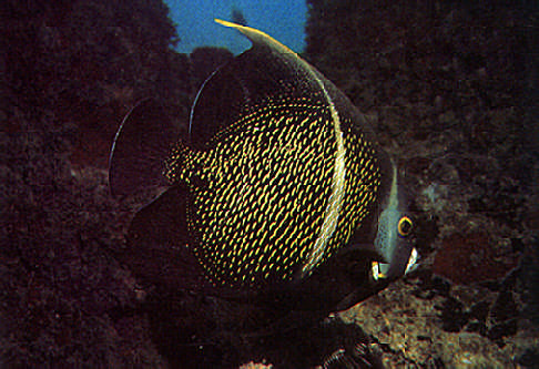 French angle fish are curious about divers, and after darting away will often return to watch. Photograph by Mike Toy