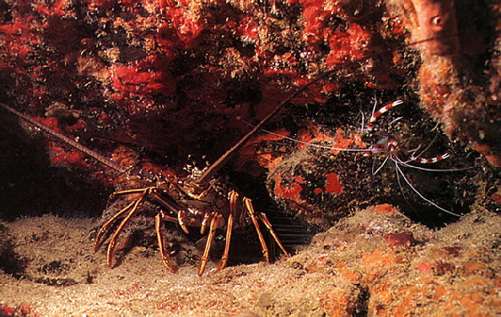 A spiny lobster keeps company with a branded coral shrimp. Photograph by Mike Toy