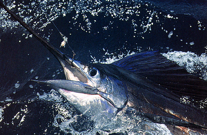 A magnificent sailfish falls prey to the game of the fisherman. Photograph by Darrell Jones