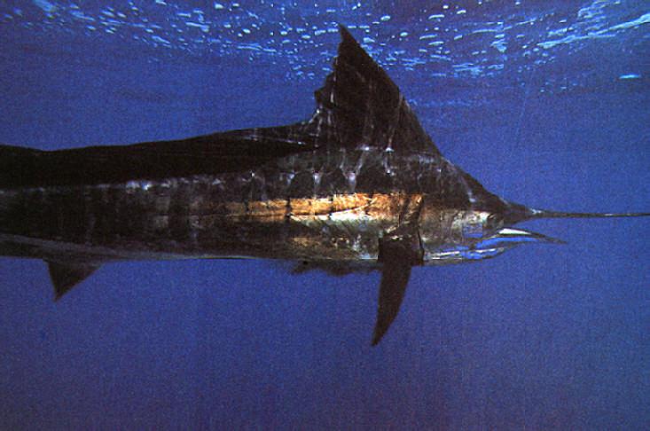 The hunted: Caribbean sailfish cruising the Caribbean coast of Costa Rica. Photograph by Darrell Jones