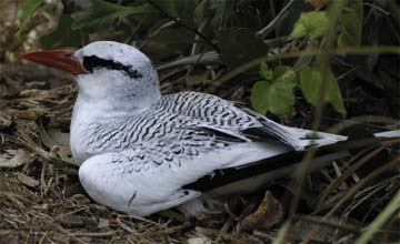 Red-billed tropicbird. Photograph by Anton Modeste