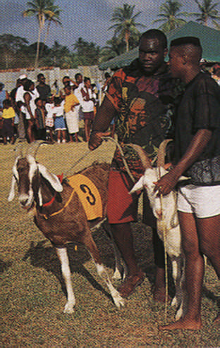 Getting ready for goat racing. Photograph by Noel Norton