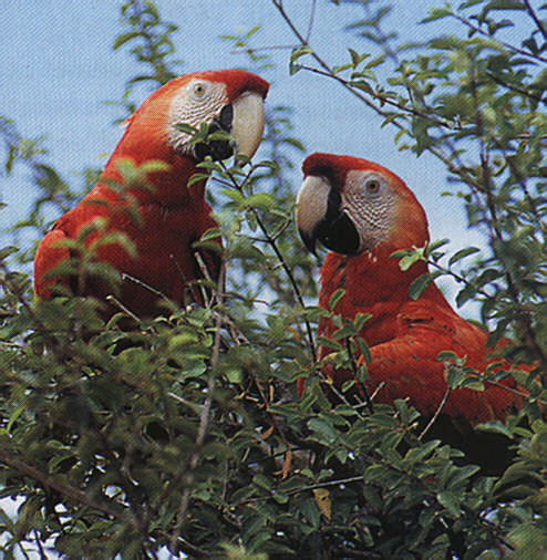 Macaws are just part of Guyana's enormous reservoir of wildlife. Photograph by Stephen Thorpe