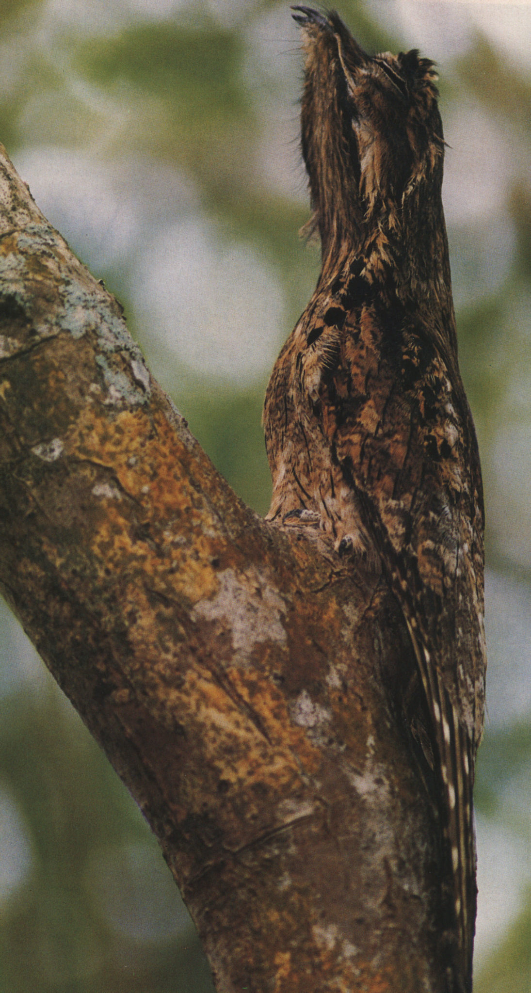 "The Common Potoo: ""by day it perches upright on a post or tree-stump, perfectly camouflaged"" Photograph by Roger Neckles"