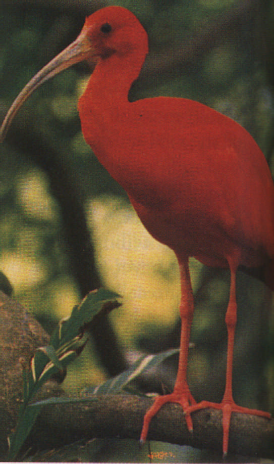 "Scarlet Ibis: "" oh my, oh my, cried the birders"" Photograph Roger Neckles"