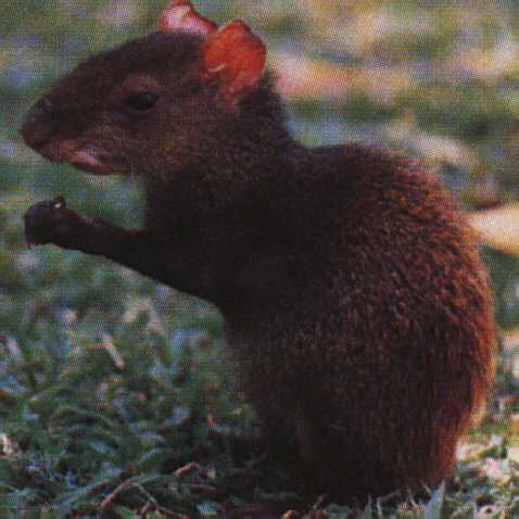 Agouti. Photograph by Roger Neckles