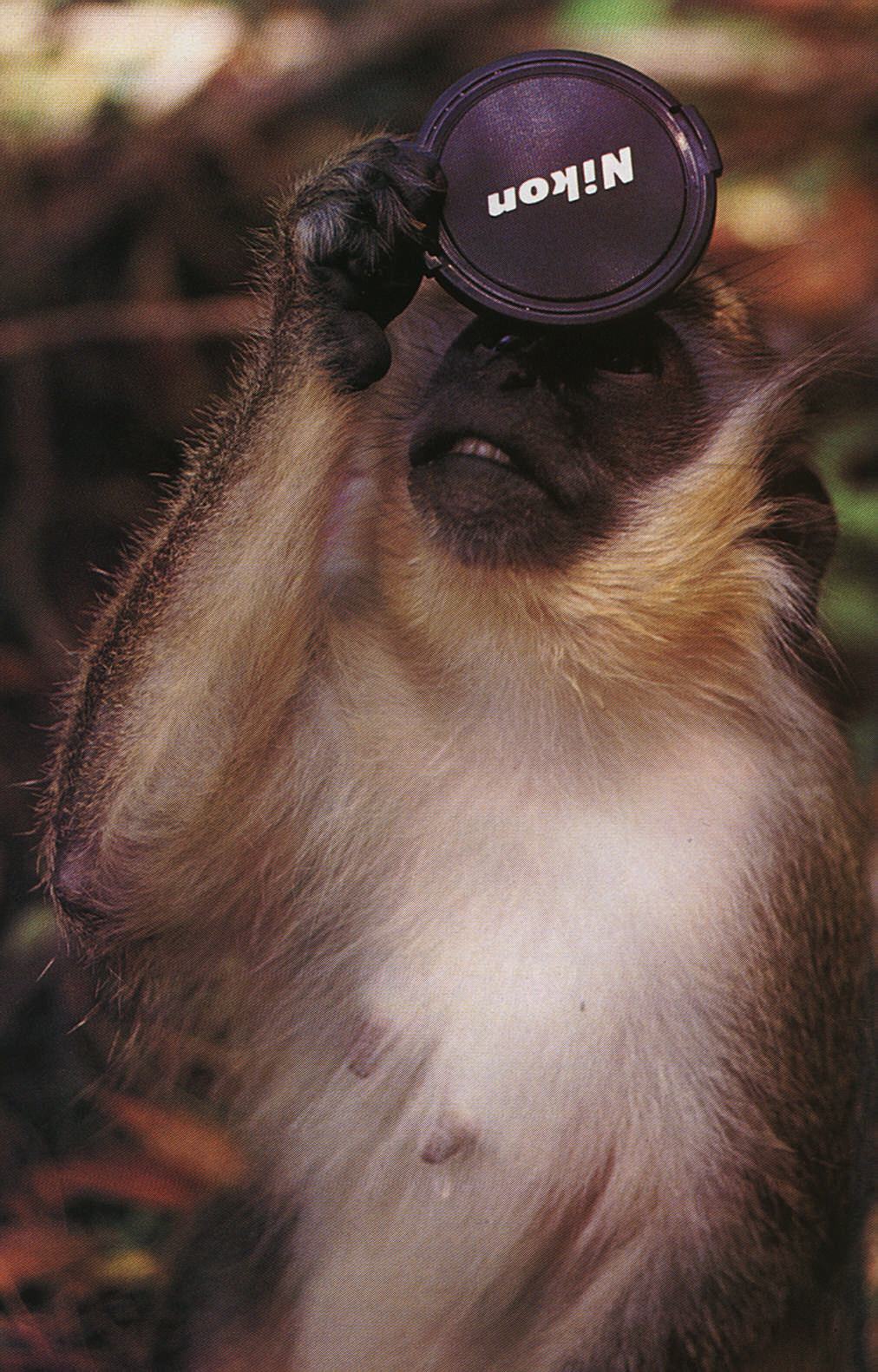 Field research: a Barbados green monkey in the wild. But who's studying who? Photograph by J. Horrocks