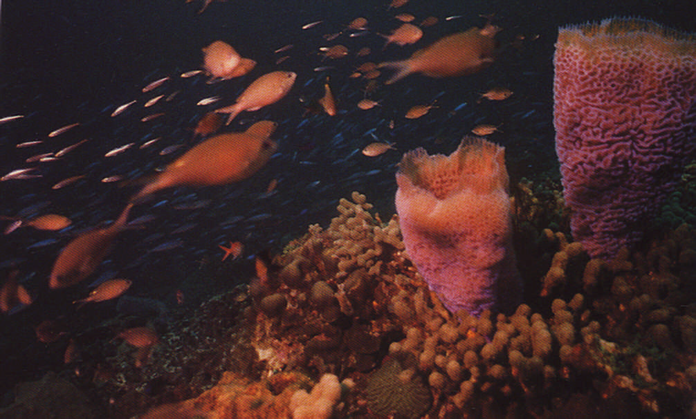 Turtle Reef, off Anse Chastenet. Photograph by Chris Huxley