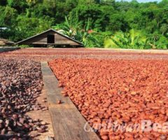 Drying cocoa beans. Photograph by Celia Sorhaindo