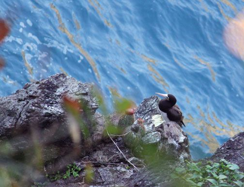 A brown booby perches on a perilous cliff face. Photograph by Nyla Singh