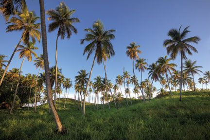 Coconut trees on the road to Icacos. Photograph by Chris Anderson