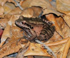 Thirty-three frogs bred in captivity were released in Montserrat's Soufrière Hills. Photograph courtesy the Mountain Chicken Recovery Project