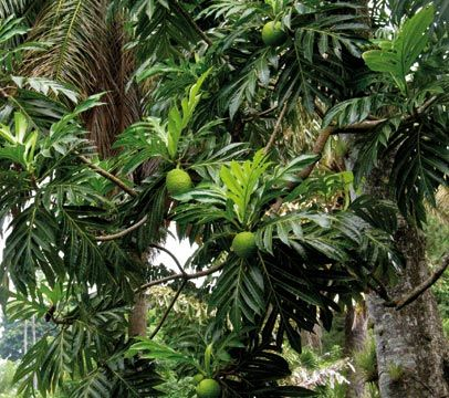 A breadfruit tree brought to St Vincent by Captain Bligh in 1793,from the Kingstown Botanic Gardens. Photograph by Jonathan Ali