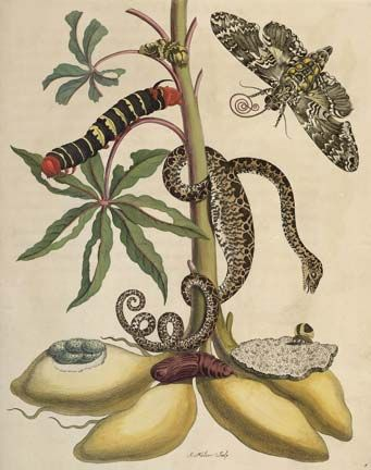 Cassava plant with sphinx moth and tree boa, by Merian, from Metamorphosis Insectorum Surinamensium. Photograph courtesy the Centre for Retrospective Digitization, Göttingen