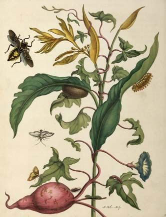 Heliconia and sweet potato plant with wasps and butterflies, by Merian. Photograph courtesy the Centre for Retrospective Digitization, Göttingen