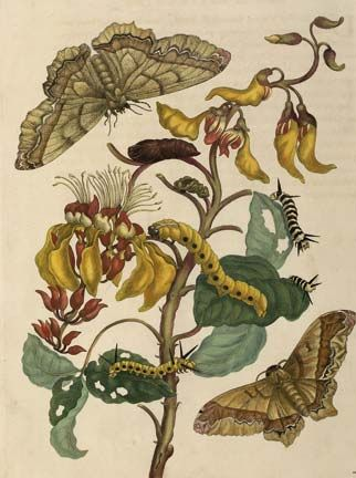 Merian's `Palisade tree with moths'. Photograph courtesy the Centre for Retrospective Digitization, Göttingen