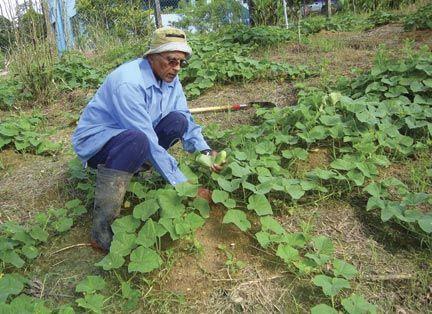Deen harvesting cucumbers in Tableland. Photograph courtesy Shamshu Deen