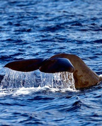 A sperm whale takes to the deep. Photograph by Paul Crask