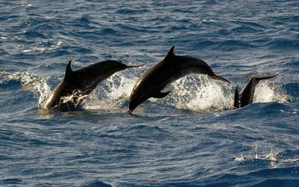 Spotted dolphins. Photograph by Paul Crask