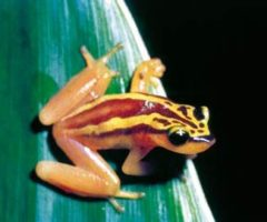 Phyllodytes auratus, better known as the Golden Tree Frog. Photograph by Professor Julian Kenny
