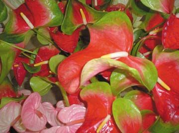 Anthuriums on display at Kairi Blooms. Photograph by Laura Dowrich-Phillips