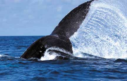 Fluke of diving humpback whale, Silver Bank, Dominican Republic. Photograph by © IFAW International Fund For Animal Welfare/S Cook