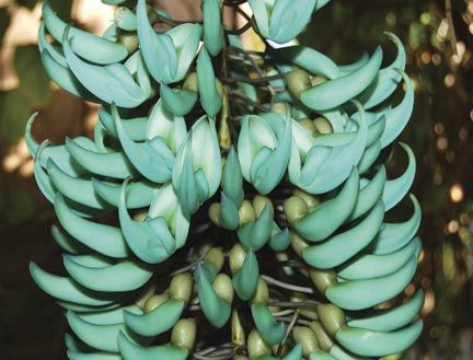 A close-up shot of the jade vine. It blooms every year from February to the end of May. Photograph courtesy Andromeda Gardens/Jemima Stuart