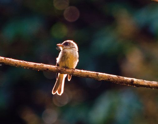 The Lesser Antillean pewee, a favourite with visiting birders. Photograph by Paul Crask