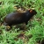 An agouti skedaddles into the undergrowth. Photograph by Celia Sorhaindo