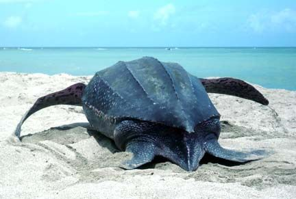 A leatherback turtle returns to the sea after laying her eggs. Photograph by Eric Hawk