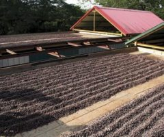 Traditional sun-drying of cocoa beans in Trinidad & Tobago. Photograph courtesy vpatrickbarrett@gmail.com