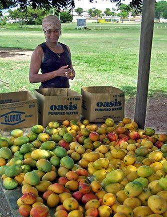Mangoes in Antigua. Photograph courtesy www.antiguamangofest.com