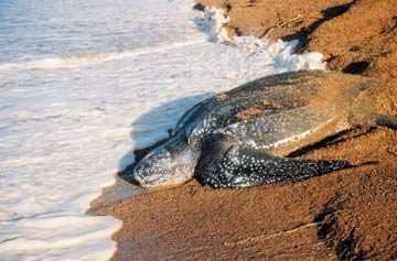 Leatherback at Shell Beach, Guyana. Photograph courtesy Guyana Marine Turtle Conservation Society/Michelle Kalamandeen