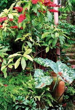 A striking variegated colocasia is a stunning counterpoint to the red blooms of the double chaconia. Photograph by Sharon Millar