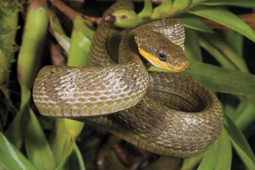 Bird-eating snake. Photograph by Pierson Hill