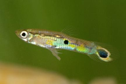 Guppy. Photograph by Pierson Hill