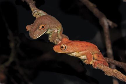 Gladiator tree frogs. Photograph by Pierson Hill