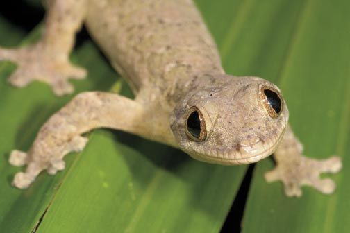 Turnip-tail gecko. Photograph by Pierson Hill