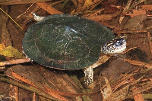 South American wood turtle. Photograph by Pierson Hill