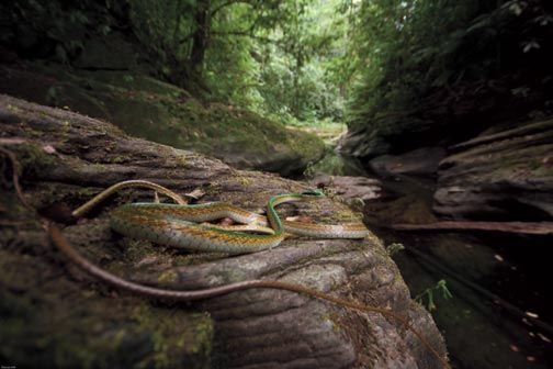 Lora or parrot snake. Photograph by Pierson Hill