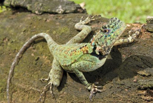 Wall lizard. Photograph by Pierson Hill