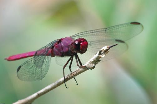 Dragonfly. Photograph by Pierson Hill
