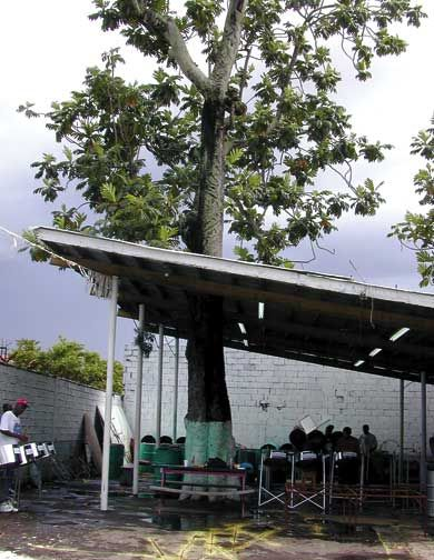 The famous breadfruit tree. Photograph by Jeannine Remy