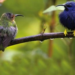 A male purple honeycreeper, right, with his female partner. Photograph courtesy Theodore Ferguson