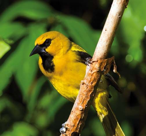 The mature yellow oriole normally displays a striking yellow and black plumage, with yellow being dominant. Photograph courtesy Theodore Ferguson