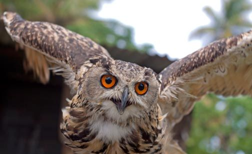Indian eagle owl. Photograph by Mariamma Kambon