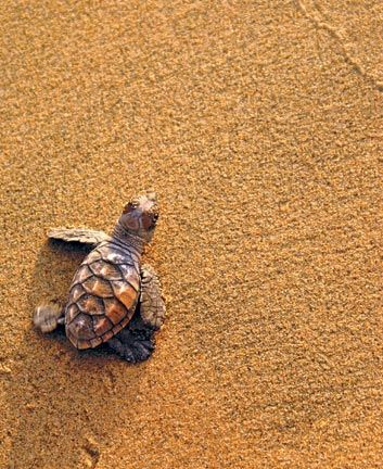 A newly hatched hawksbill turtle (Eretmochelys imbricata) pauses as it makes its way to the sea, Mt Irvine Back Bay, Tobago. Photograph courtesy G Lalsingh/SOS Tobago